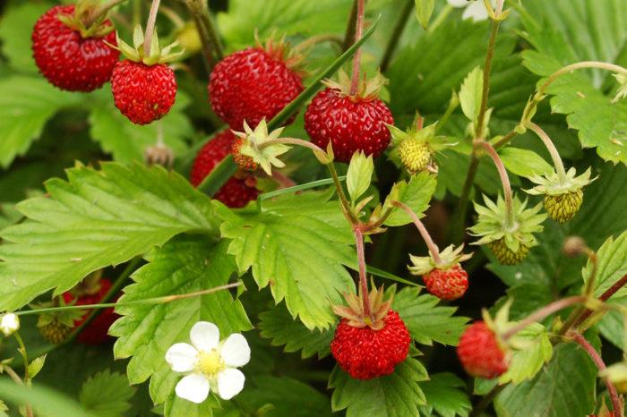 Чай из лесных ягод и их листьев