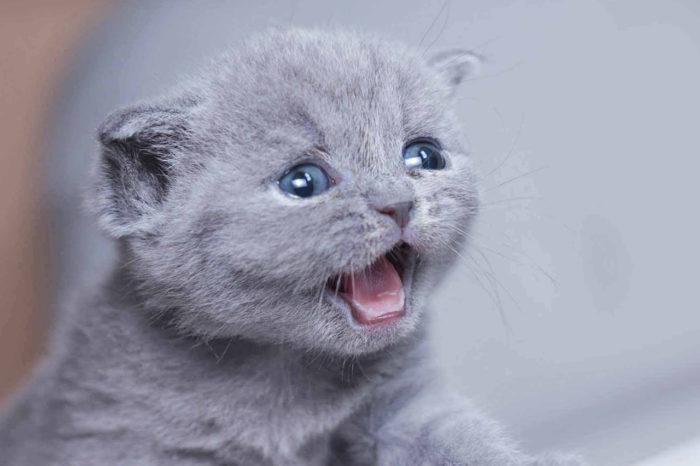 Выбор британского короткошерстного котенка
