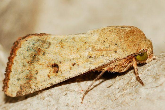 Helicoverpa armigera ssp. conferta