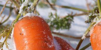 Морковь заморозки