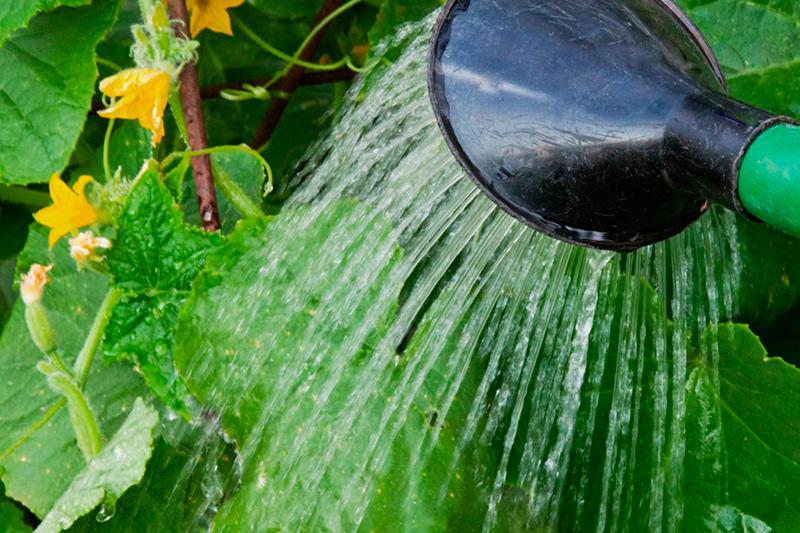 Как бороться с корневой гнилью огурцов в теплице