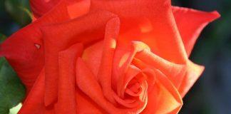 Солим сцветы