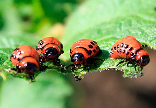 Колорад жук уничтожить без химии