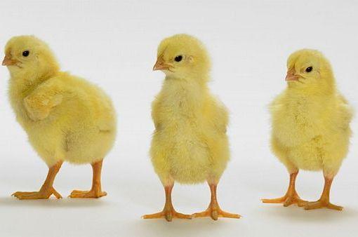 Цыплята суточники содержание