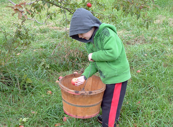 Саженцы яблонь для сада