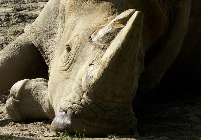 Порошок рог носорога