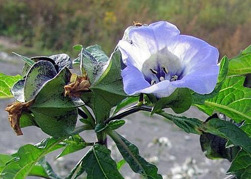 Никандра цветок