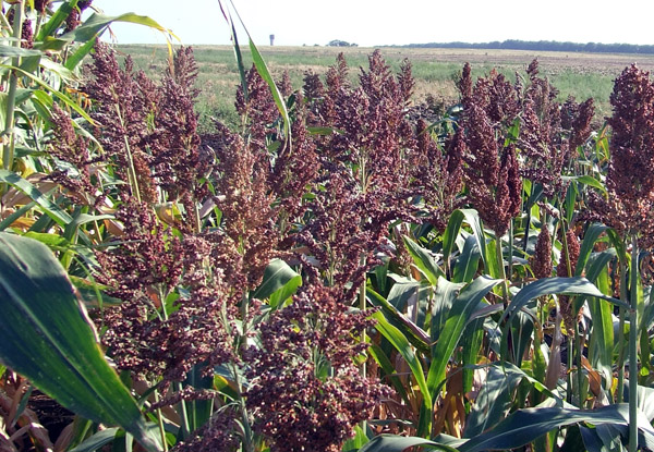 Сахарное сорго агротехника