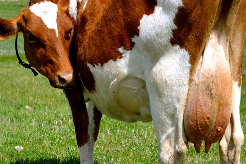 Корова симптомы кетоза