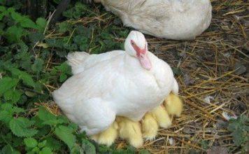 Подложить яйца под наседку