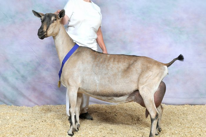 Выбор высокоудоистой козы