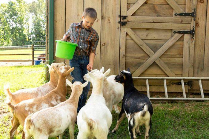 Правильное кормление молочных коз