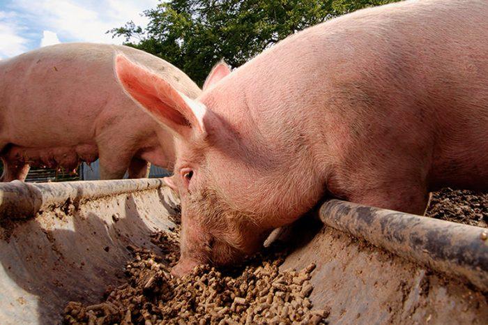Рацион для свиней