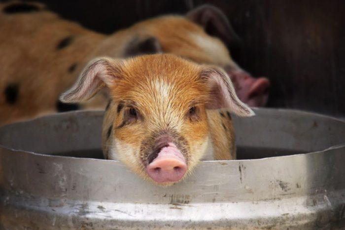 Чем кормят свиней