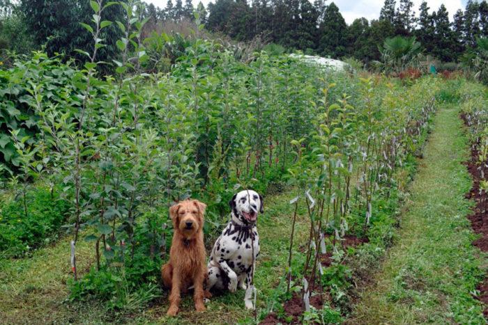 Выращивание подвоев яблони