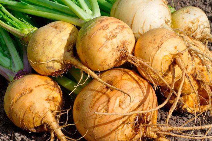 Репа полезный овощ
