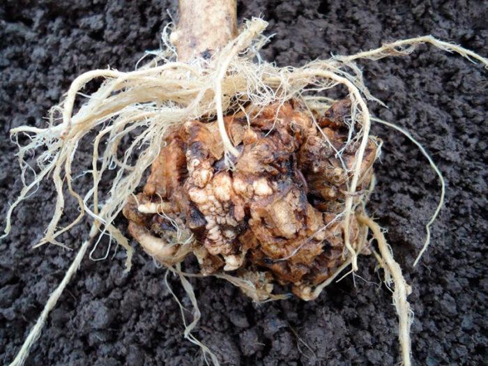 Кила белокочанной капусты