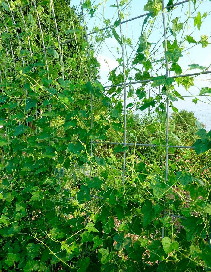 Выращивание мелотрии шершавой на шпалере