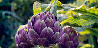 Агротехника выращивания артишоков