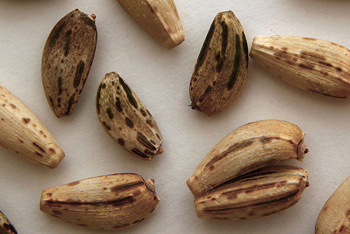 Внешний вид семян артишока под увеличением
