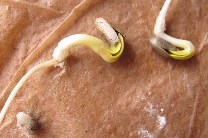 Проращивание семян артишока