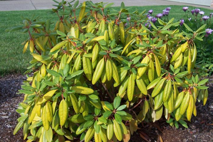 Пожелтение листьев у растения при недостатке азота
