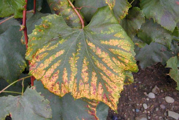 Красно-фиолетовые оттенки на листьях растений при недостатке магния