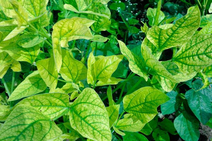 Хлороз из-за недостатка железа в почве