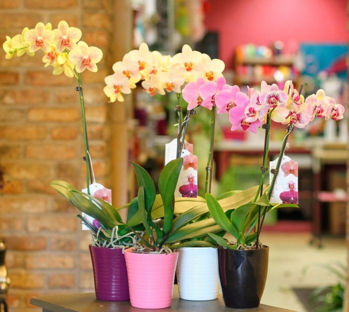 Орхидея Фаленопсис – уход в горшке в домашних условиях