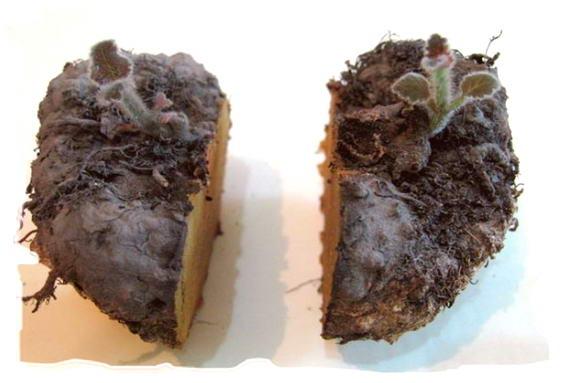 Деление клубня (корневища)