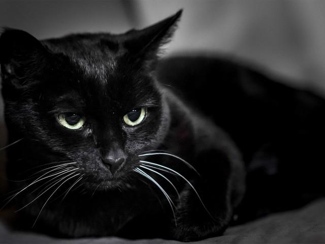 Сонник к чему снится черная кошка женщине
