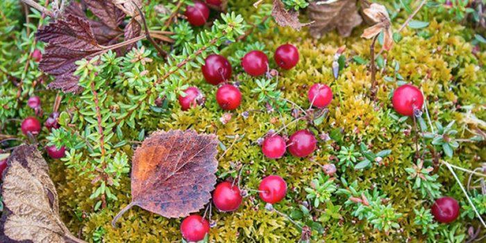 Ягоды клюквы в лесу