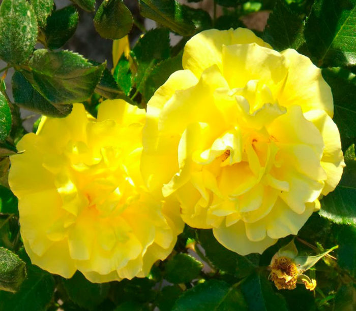 Еллоу Дол (Yellow Doll)
