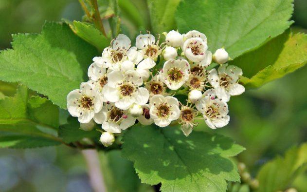 Цветки боярышника