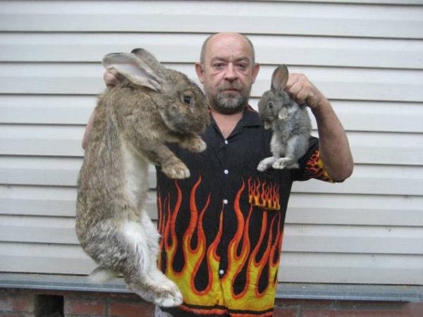 Кролик-великан в сравнении с обычным кроликом