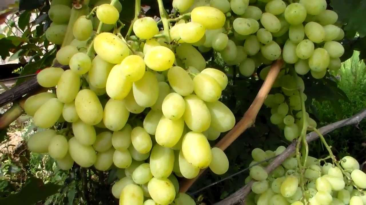 Снится виноград к чему - виноград женщине снится к чему