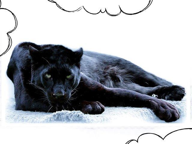 Сонник пантера черная ручная