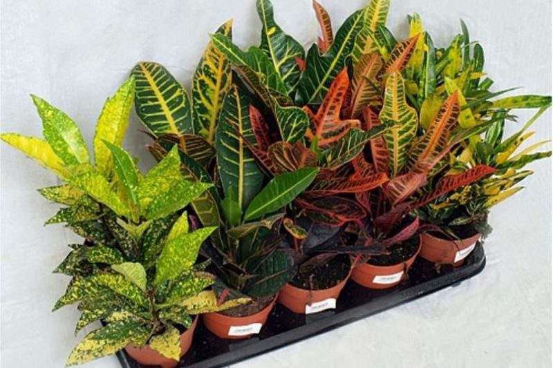 Комнатный цветок кротон или кодиеум и его виды с фото, как ухаживать за растением в домашних условиях