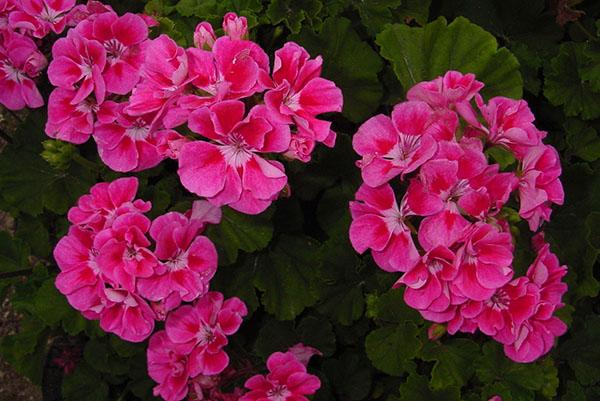 При правильном уходе герань цветет обильно