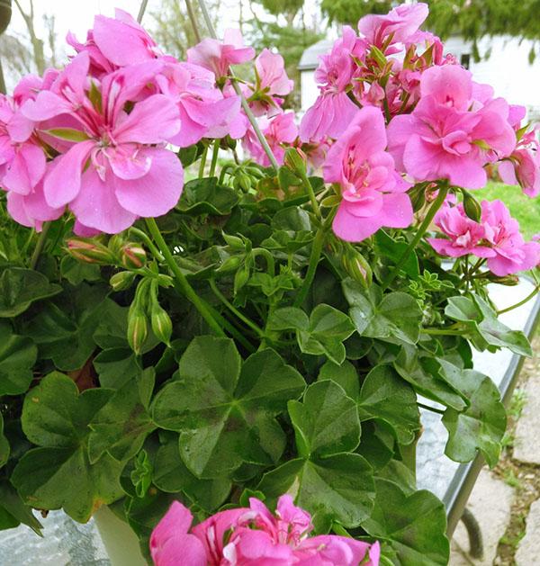 С помощью обрезки формируют кроны и добиваются цветени