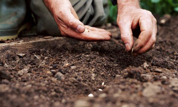 посадка огурцов семенами