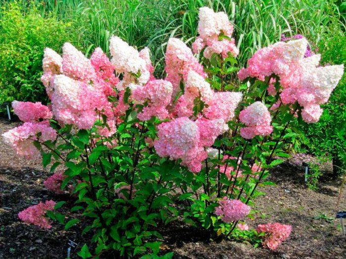 Гортензия метельчатая (Hydrangea paniculata)