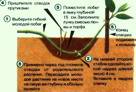 Как размножить отводками