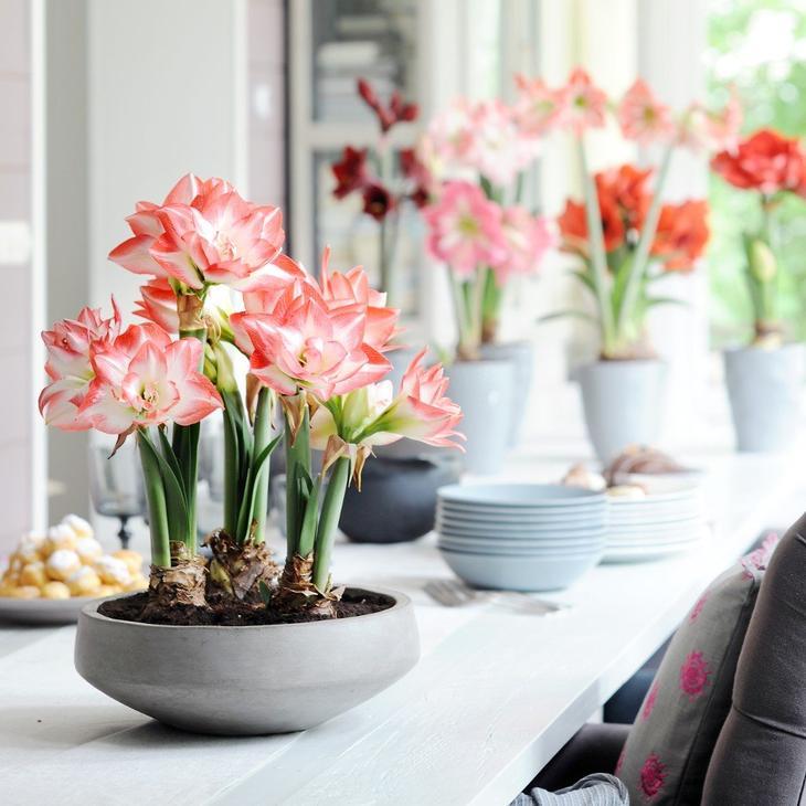 Как ухаживать за гиппеаструмом после цветения