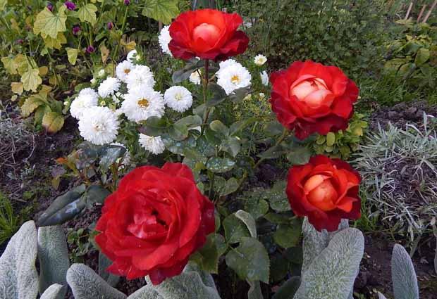 спасти розу от тли