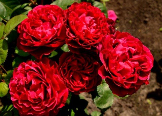 Роза сорта Алиса, фото с сайта rosecatalog.ru