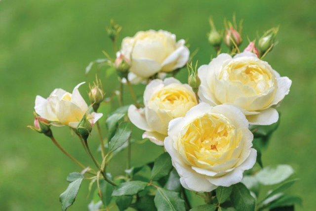 Роза сорта Vanessa Bell, фото с сайта ashridgetrees.co.uk