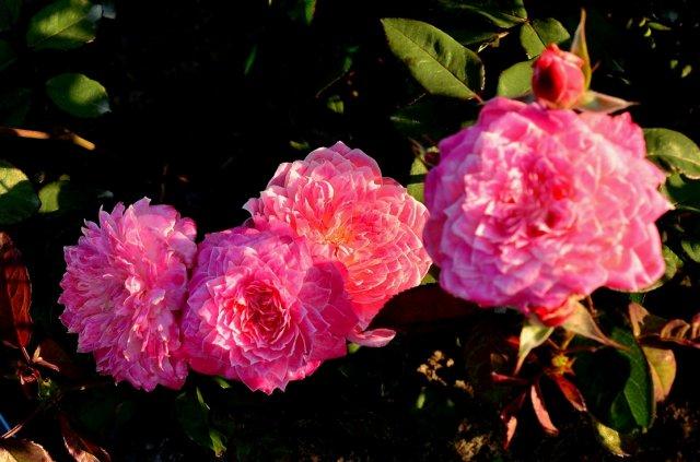 Роза сорта Рязаночка, фото с rosecatalog.ru