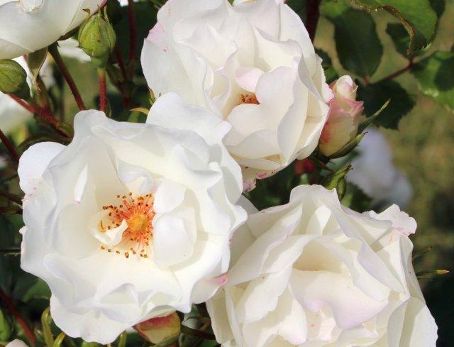 Роза сорта Weisse Wolke, фото с сайта mpr-vlg.ru