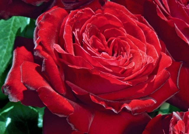 Роза сорта Noemie De Rothschild, фото с сайта pepinieres-chastel.com